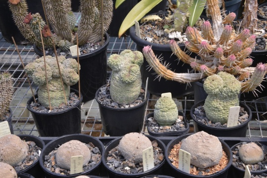 Some of the Pseudolithos plants looking in great shape. In England the frequent sound of rain on the greenhouse roof might kill them!