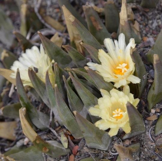 Ariocarpus trigonus in flower
