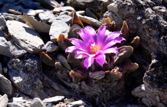 S3178 Ariocarpus scaphirostris in flower