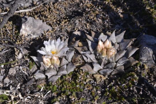 Ariocarpus retusus (S3183)