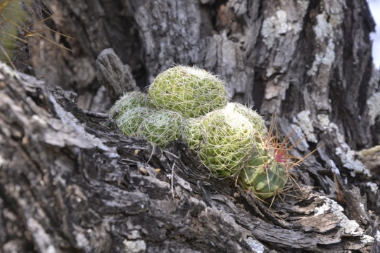 This Mammillaria sp joined the rankls of epiphetic cacti at S3211