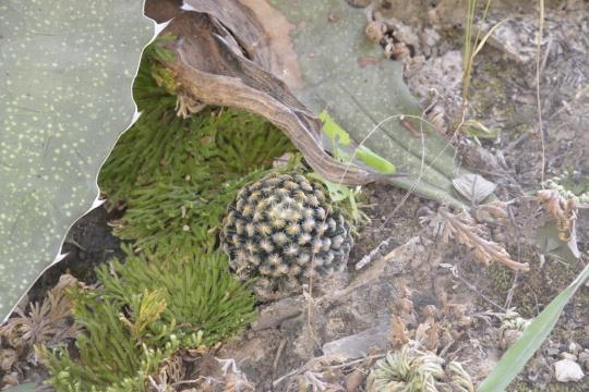 Mammillaria schiedeana (S3214)