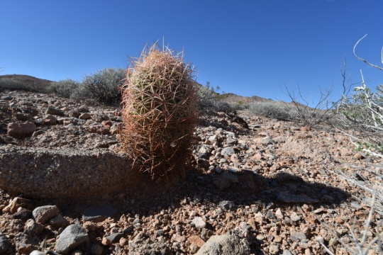 Pygmy Barrel Cactus - you may select your preferred botanical name from the list above.