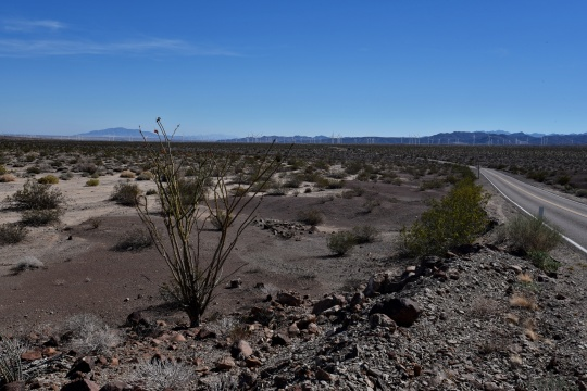 Ocotillo tree (Fouquieria splendens) in leaf, a sign of recent rains in this otherwise barren landscape