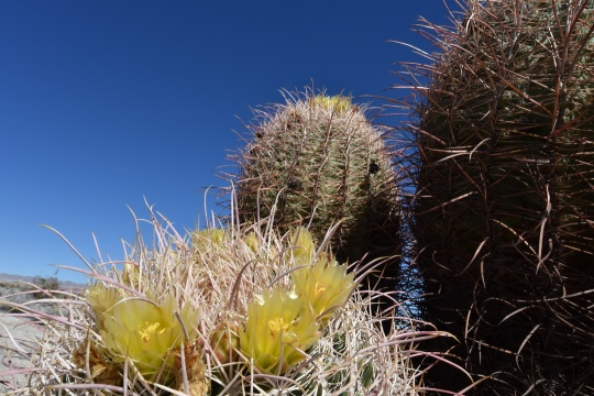 Early flowers on Ferocactus cylindraceus (S3245)