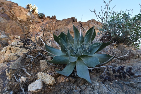 Dudleya pulverulenta subsp. arizonica growing far away from the usually coastal Dudleya locations.