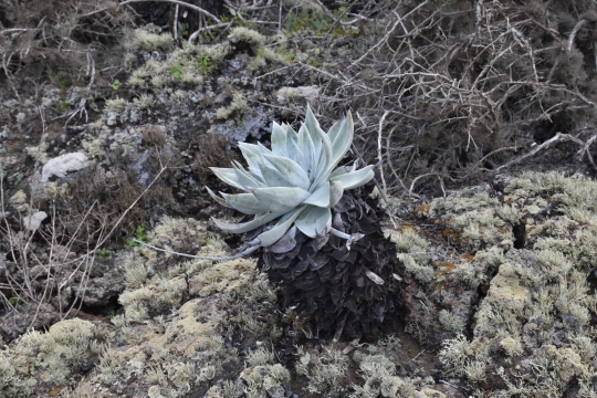 Dudleya anthonyi