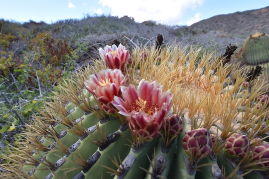 Ferocactus diguetii in flower on Isla Cerralboa
