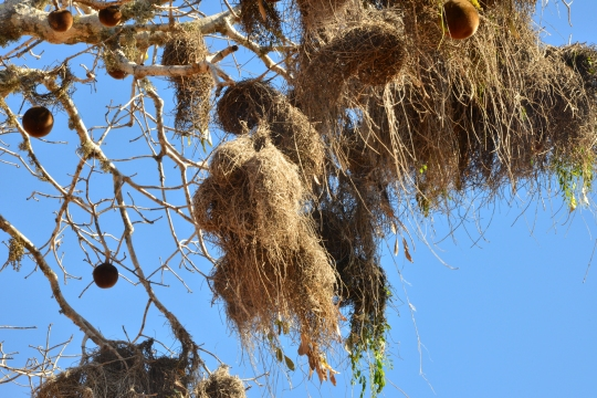 Weaverbird's nest amont baobab fruits