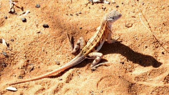 Three-eyed lizard - Chalarodon madagascariensis
