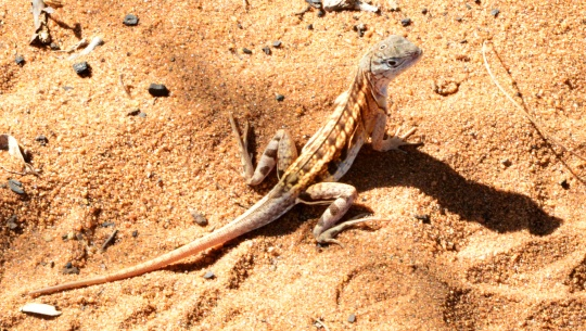 Three-eyed lizard - Chalarodon madagascariensis
