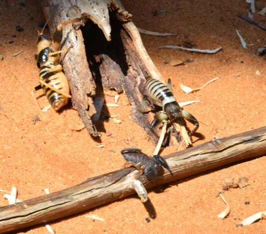All three scorpions