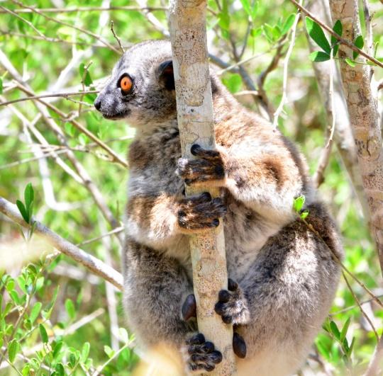 Lemur sp