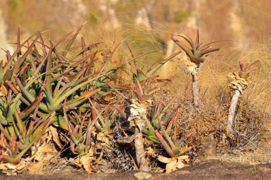 Aloe mambotensis