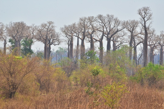 S3468 - Natural Baobab habitat
