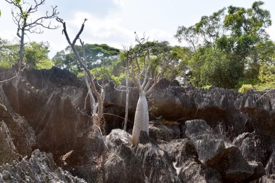 Pachypodium menabeum