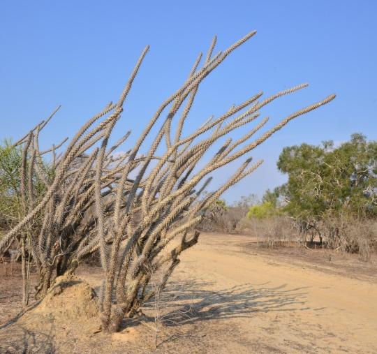 Didierea madagascariensis