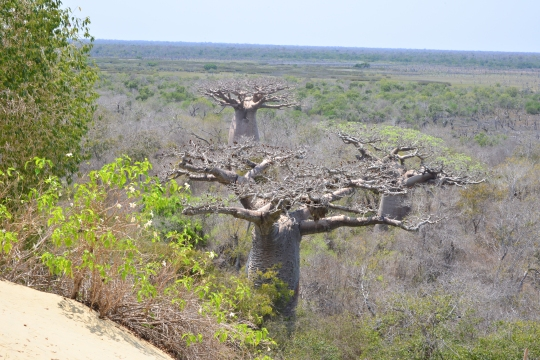 Baobab forest at the foot of the sand dune