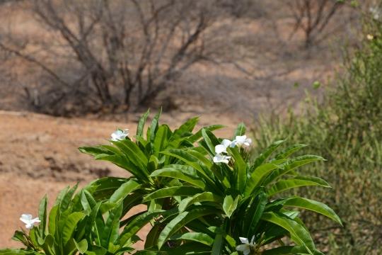 Pachypodium lamerei in flower