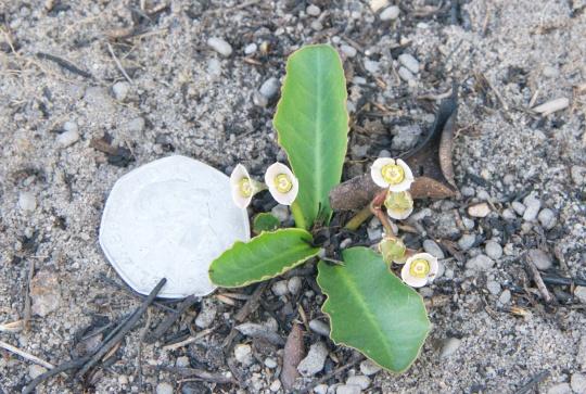 Euphorbia primulifolia var. begardii
