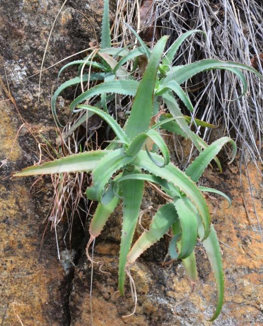 Aloe accutissima