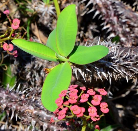 Euphorbia horombensis
