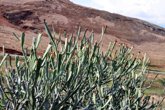 Euphorbia enterophora subsp crassa