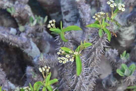 Euphorbia duranii