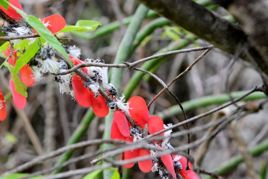 Madagascan flatid bug - Phromnia rosea