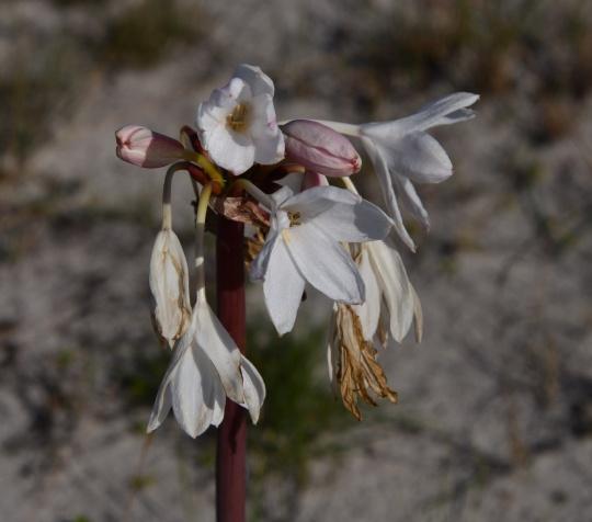 Crinum sp. in the Family Amaryllidaceae.