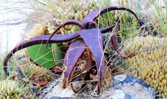Aloe erytrophylla