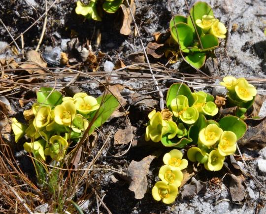 Euphorbia quartitzicola