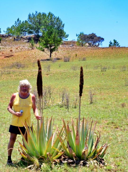 Aloe macroclada