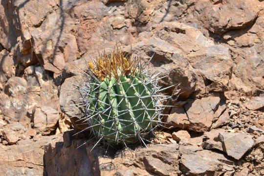 Ferocactus lindsayi S3547