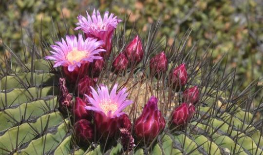 Ferocactus haematacanthus