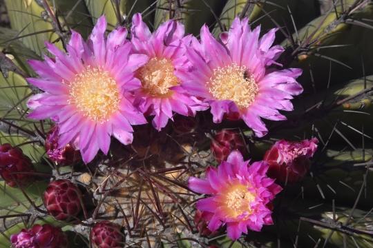Ferocactus haematacanthaus
